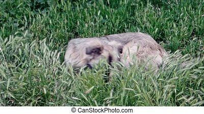 Mongrel dog resting in lush grass 4k footage