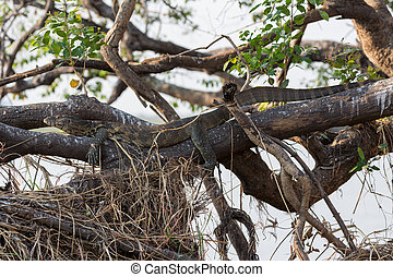 Entire view of camouflaged Monitor Lizard hidden over tree