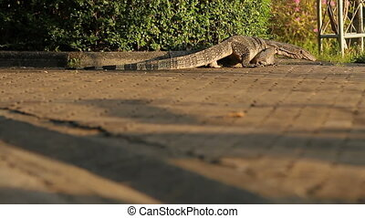 Monitor lizard cautiously, crawling on pavement in public...