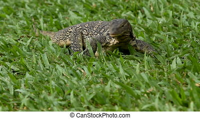 Monitor lizard crawling on the grass in Lumpini Park. Bangkok, Thailand.
