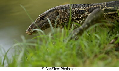 Monitor lizard crawling on the grass under a tree in Lumpini...