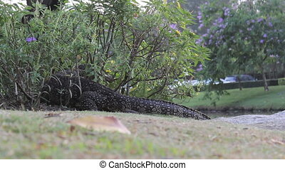 Monitor Lizard Emerges From A Bush - A large monitor lizard...