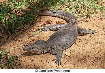 Monitor Lizard in Sri Lanka