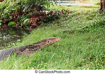 Monitor lizard in the park.