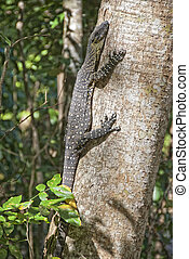 Monitor Lizard on a Tree, Whitsunday Islands