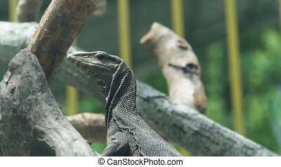 Monitor lizard on tree branch close up. Dragon varan in...
