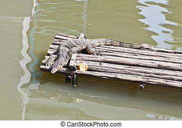 Monitor Lizard resting on a raft