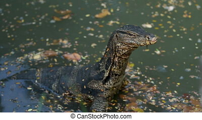 Monitor lizard sits in water of pond in Lumpini Park. Bangkok, Thailand.