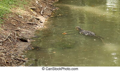 Monitor lizard swimming in water of pond in Lumpini Park. Bangkok, Thailand.