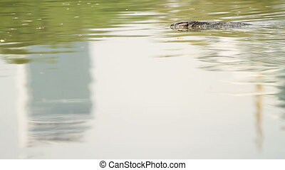 Monitor lizard swimming in water of pond in Lumpini Park....