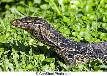 Monitor lizard (Varanus salvator) live in the Lumpini park in Bangkok, Thailand