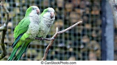 Monk Parakeet Couple - Monk Parakeet (Myiopsitta Monachus)...