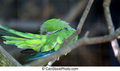 Monk Parakeet (Myiopsitta Monachus) Perched on a Tree Branch