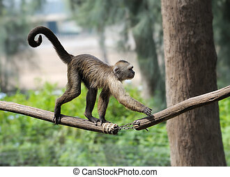 A monkey in a zoo, game and asking for food.