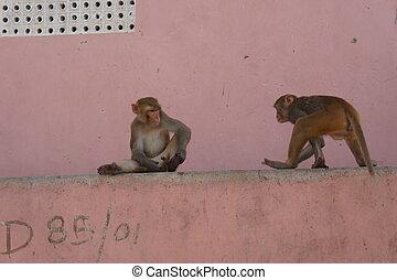 Monkey - Affen P?rchen in Jaipur