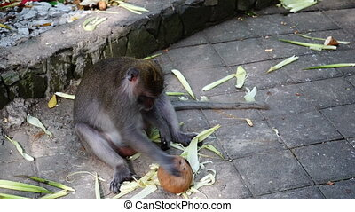 Monkey and a coconut. - Monkey wants to open coconut rolling...