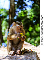Monkey at sunny day at Monkey Hill - Monkey eating banana at...