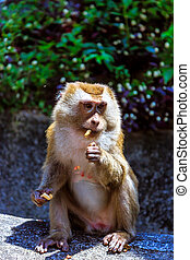 Monkey at sunny day at Monkey Hill - Monkey eating peanut at...