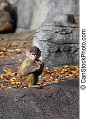 Monkey Baby eating