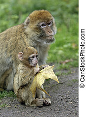 Monkey Baby with mother