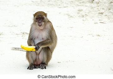 Monkey beach. Crab-eating macaque and banana at Phi-Phi,...