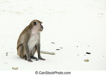 Monkey beach. Crab-eating macaque at  Phi-Phi, Thailand