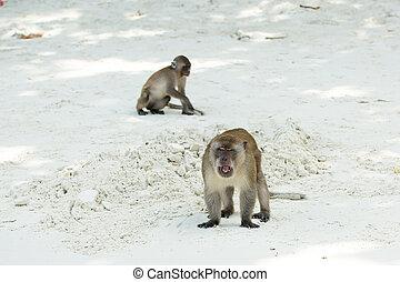 Monkey beach. Group of Crab-eating macaques and banana at...