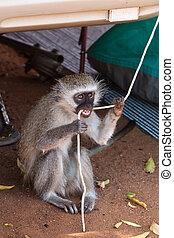 Monkey biting on a rope