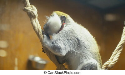 monkey breed Coats - cat breed monkey sitting on a rope