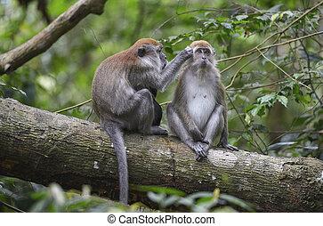 Monkey, Bukit Lawang, Sumatra, Indonesia - Monkey in the...