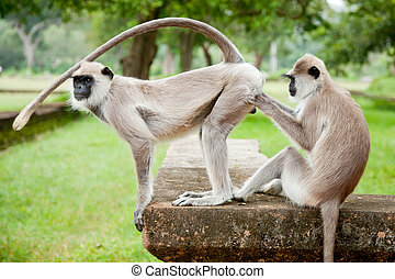 Two Gray langurs taking care of each other