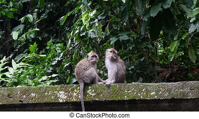 Monkey catches fleas from his friend in rain forest of Bali....