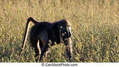 monkey Chacma Baboon in bush, Namibia Africa safari wildlife