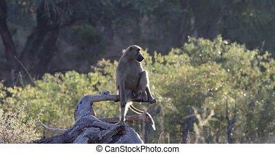 monkey Chacma Baboon, Namibia Africa safari wildlife