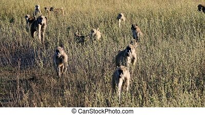monkey Chacma Baboon (Papio anubis) family in african savanna, Bwabwata Caprivi strip game park, Namibia, Africa safari wildlife