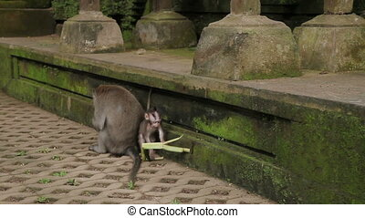 Monkey cub plays with leaves. Monkey forest in Ubud Bali...