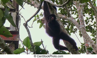 Steady, exterior, medium wide shot of a monkey hanging from a branch.