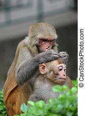 Monkey delousing his baby