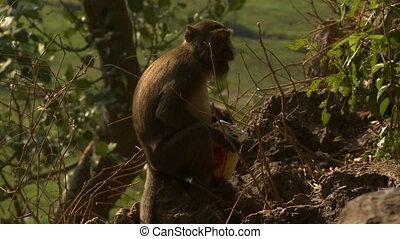Monkey Eating Bag of Food - Steady, medium close up shot of...