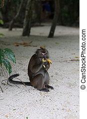 Monkey eating banana - Exotic animals, tropical...