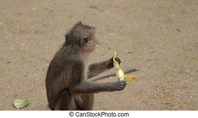 Monkey eating banana on the ground