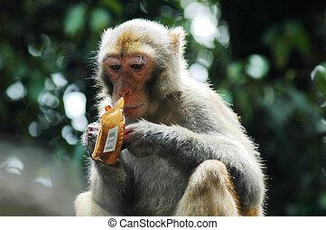 Monkey eating chocolate