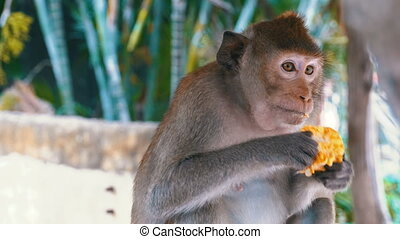 Monkey eating corn in the jungle. Thailand - Monkey eating...