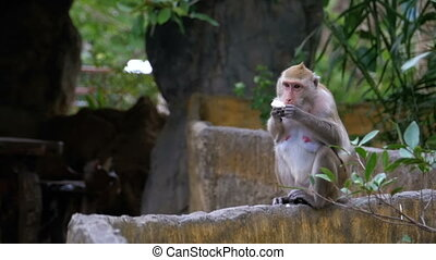 Monkey eating food in the jungle. Thailand