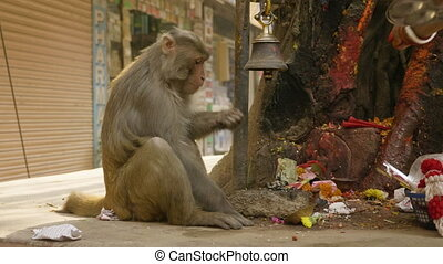 Monkey eats banana in the city near religious temple. Kathmandu, Nepal