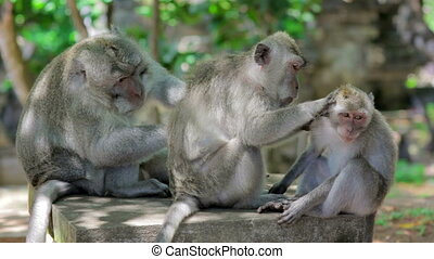 monkey family cleaning louse