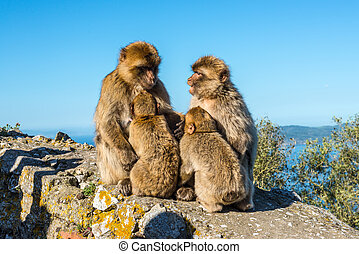 Monkey Family Council - Barbary macaques family sits on top...