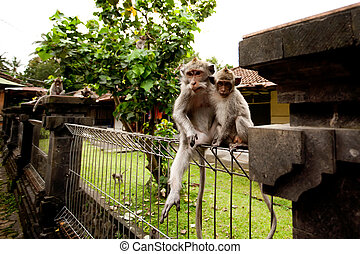 monkey family, mother with baby, sitting on a fence, in Sacred Monkey Forest in Ubud Bali Indonesia.