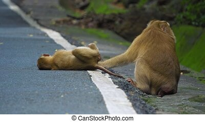 monkey family on the road are cleaned. mum cares for the baby monkey