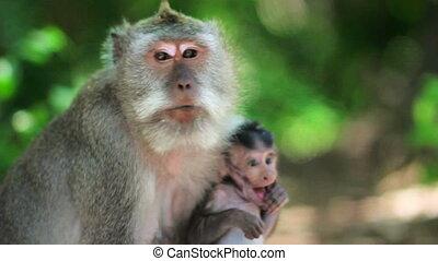 monkey family, uluwatu, bali